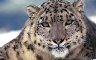 why are snow leopards endangered | snow leopard