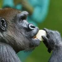 What Do Gorillas Eat   Interesting Facts about Gorilla's Diet