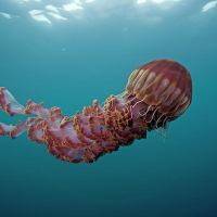 Types of Jellyfish - Top 10 Most Beautiful Types of Jellyfish on Planet Earth