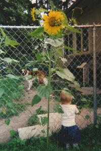 56b Mary and Gertie sunflower