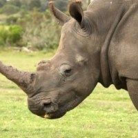 Rhinos: From South Africa to Vietnam -- via Thailand?