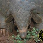 6 Months of Pangolin Trafficking in Asia: 17 Seizures in 6 Countries