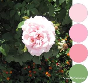 Texas Pink Rose