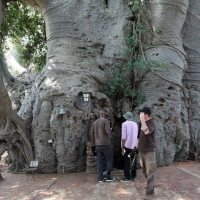 sunland-baobab-tree-3