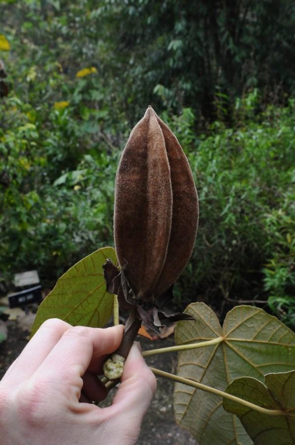 chiranthodendron pentadactylon, seed