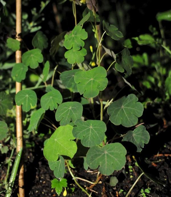 Tropaeolaceae, Tropaeolum tuberosum, Mashua, Tuber Nasturtium