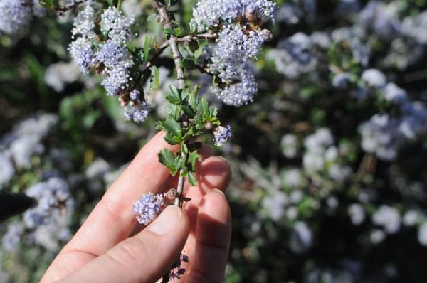 ceanothus confusus, flower, leaf