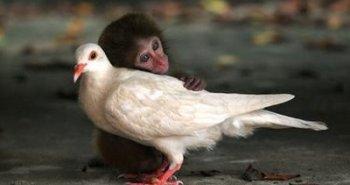 φιλία μαϊμούς και περιστεριού