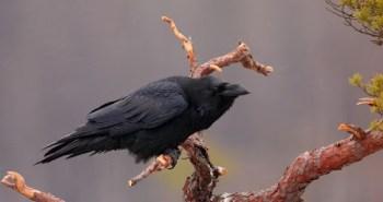 corvus-corax4