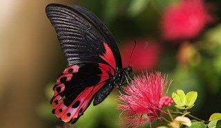 220751-Rosy_Butterfly_by_secondclaw