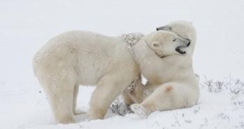 polar-bears_2480888k