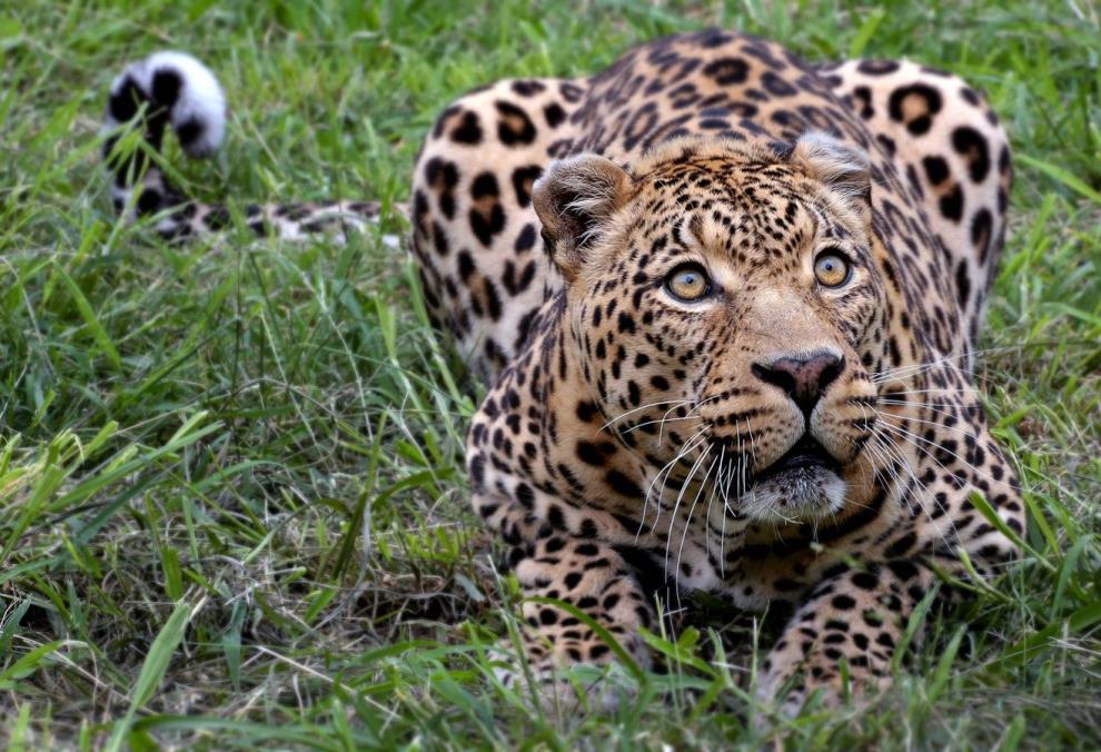 Η Αφρικανική λεοπάρδαλη, ένα από τα πιο αναγνωρισμένα ζώα, απειλείται με εξαφάνιση.