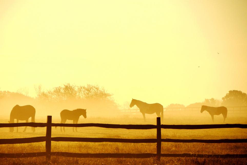 Άλογα σε ομιχλώδης τοπίο στο ηλιοβασίλεμα