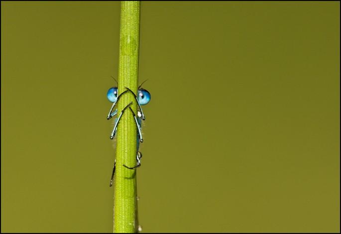 Γαλάζια λιβελούλα (ζυγόπτερο) πίσω από ένα χόρτο.