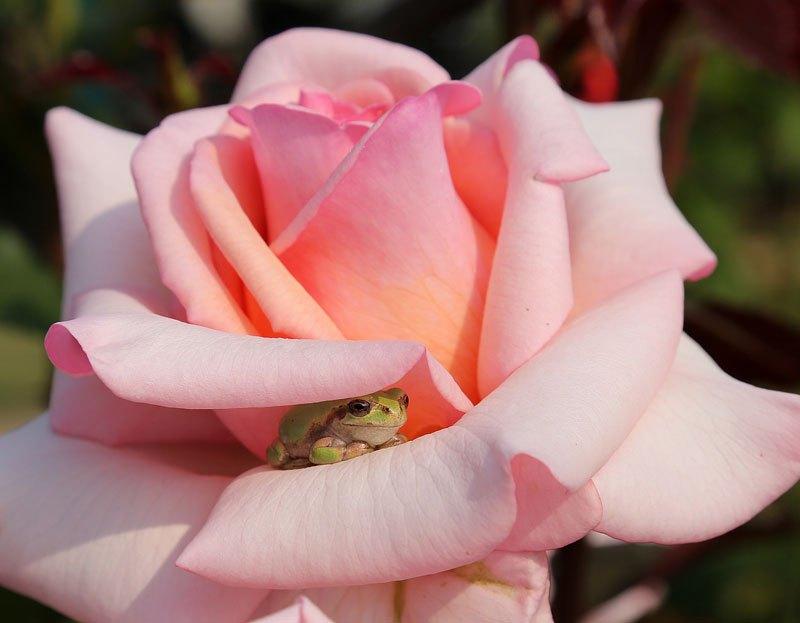 Μικροσκοπικός βάτραχος αναζητεί σκιά ανάμεσα στα πέταλα ενός τριαντάφυλλου.