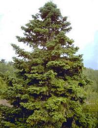 greek-fir