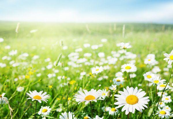白い花が咲く草原