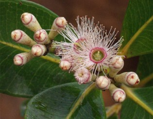 Phylogeny and diversification of Myrtaceae