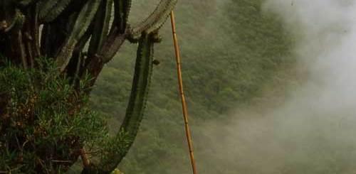 Farming a Gray Ghost Organ Pipe Cactus