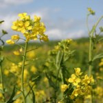 Glyphosate drift and transgene gene flow in Brassica