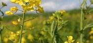Glyphosate drift and transgene gene flow in Brassica