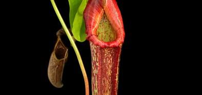 Traps of carnivorous pitcher plants as habitats
