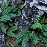 Polyploid speciation in Asplenium