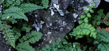 Polyploid speciation in Asplenium