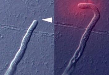 TcCRP1 as a pollen-tube attractant in Torenia