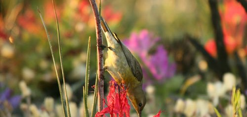 Sunbird feeding at at Rat-Tail.