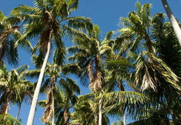 Phylogeny of arecoid palms