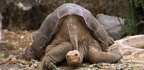 The Galapagos Islands, iconic in the history of Evolutionary Theory, but is this the place it was discovered?