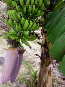 Banana fruit bunch
