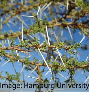 Adaptive phenotypic plasticity in Acacia