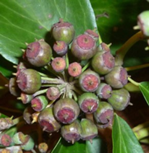 Mineral nutrient stoichiometry of &lt;i&gt;Hedera&lt;/i&gt; seeds