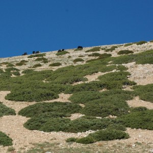Annual increments of juniper as a climatic proxy