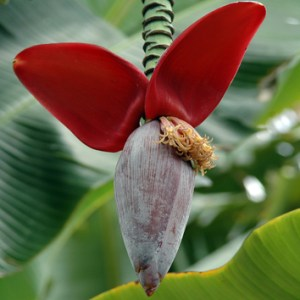 Epigenetic regulation gives diversity in triploid bananas