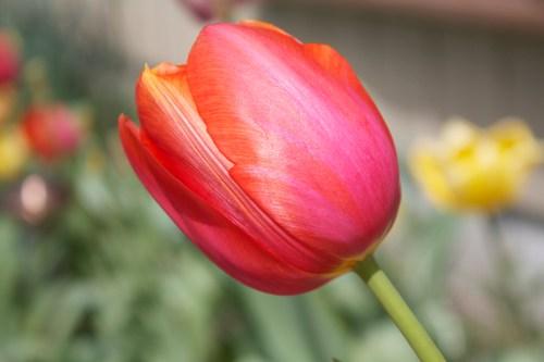 Iridescent Tulip