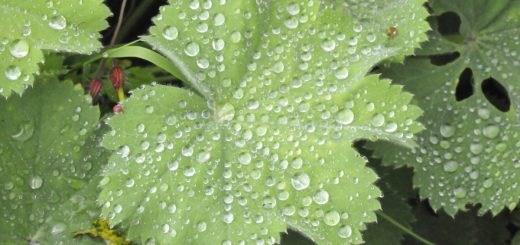 Alchemilla leaf with water droplets