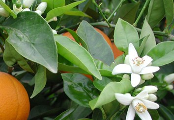 Fruit load modulates flowering-related gene expression