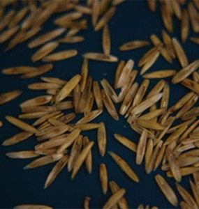 Constitutive -amylase activity in dry grass seeds