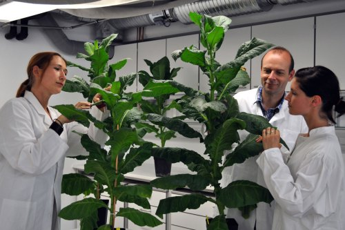 A giant tobacco plant, and normal-sized scientists for scale