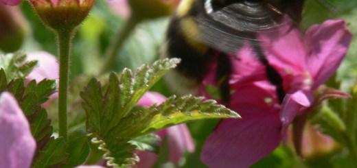 Cultivar identification and maintenance in self-sterile Rubus