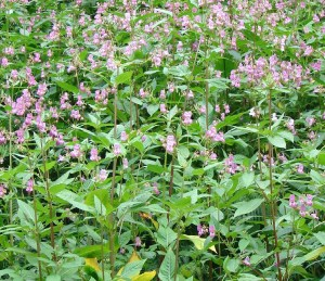 A competitive environment: a dense stand of Himalayan Balsam (Impatiens glandulifera).