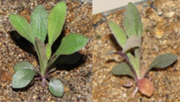 Basal rosettes of Boechera stricta under control watering conditions (left) and drought (right).
