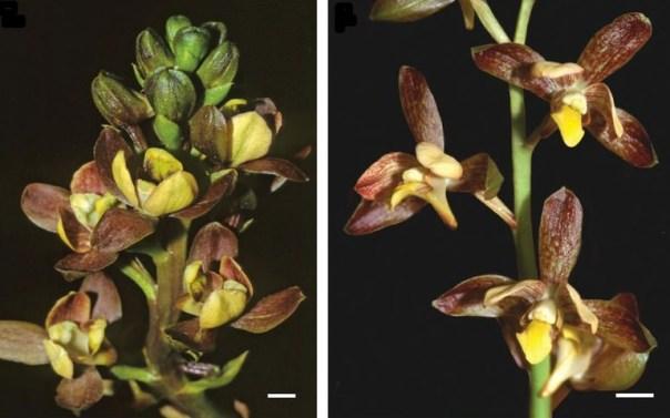 Eulophia parviflora forms