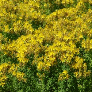 Reproduction and invasiveness in St. John's wort