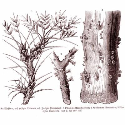 Image: Anton Joseph Kerner von Marilaun and Adolf Hansen. Pflanzenleben: Erster Band: Der Bau und die Eigenschaften der Pflanzen. Kurt Stüber, 1913.