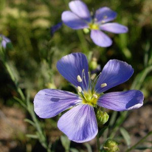 Paleopolyploidy in the flax genus, Linum