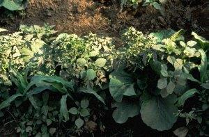 Multiple crops. Photo: Jules Pretty.